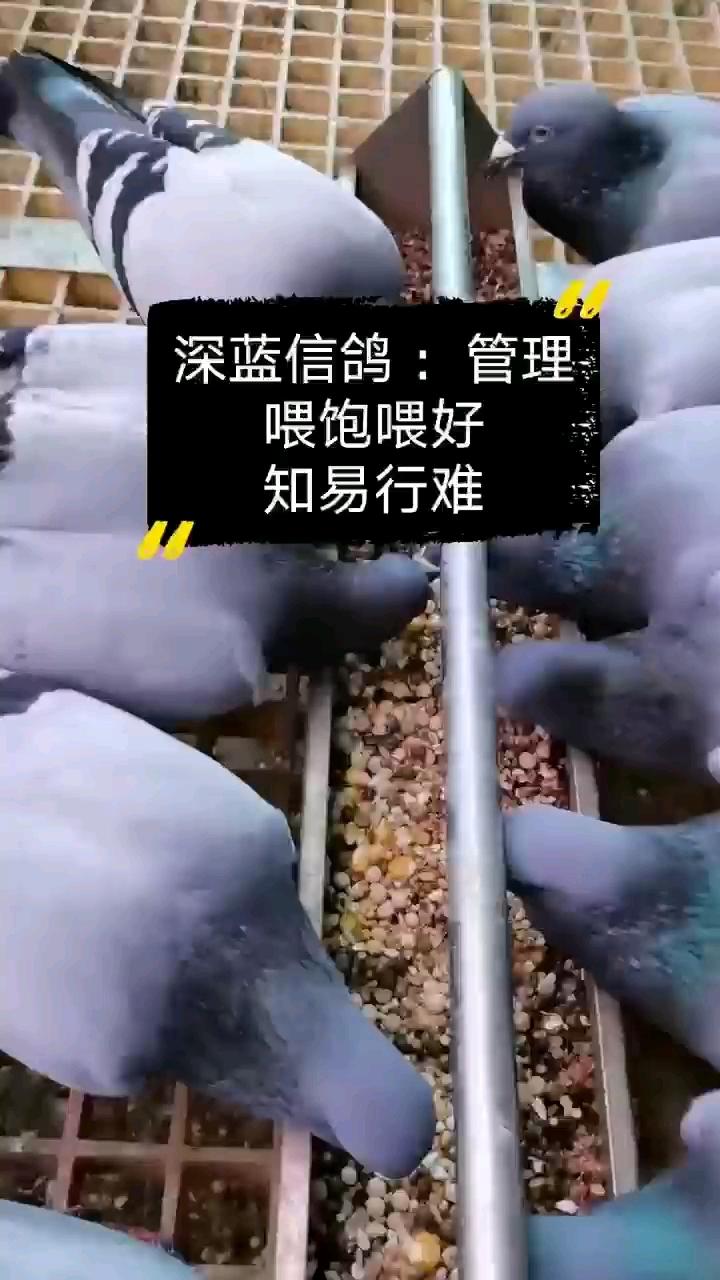 种鸽的喂饲模式培养