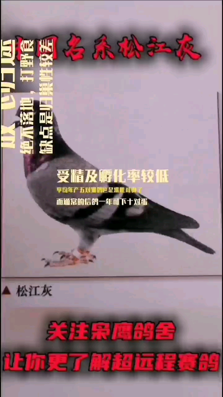 中国名系松江灰 你见过吗?